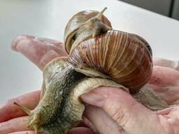 Szőlőcsiga, Helix/ escargot/ grape snail - photo 2
