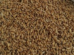 Selling 3000 tons of durum wheat.