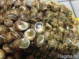 Szőlőcsiga, Helix/ escargot/ grape snail - photo 3